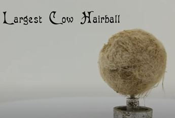 miniature reproduction of the worlds largest cow hairball