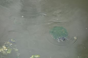 A moss covered turtle swims through the Dyck Arboretum's pond.